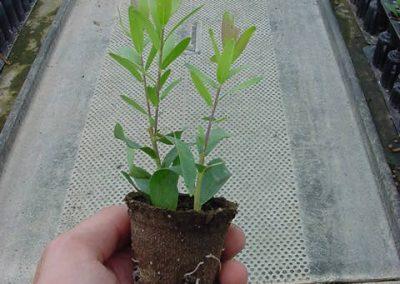 polygala-myrtifolia-alv-jiffy-5cm_0