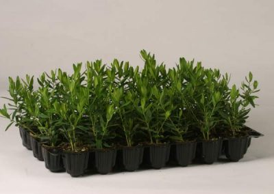 polygala-myrtifolia-dt-vassoio