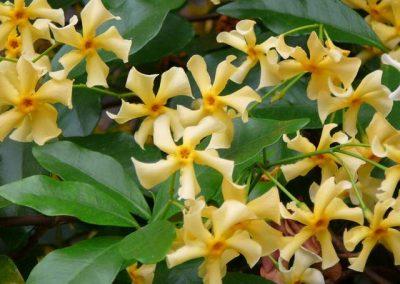 trachelospermum-jasminoides-star-of-tuscane